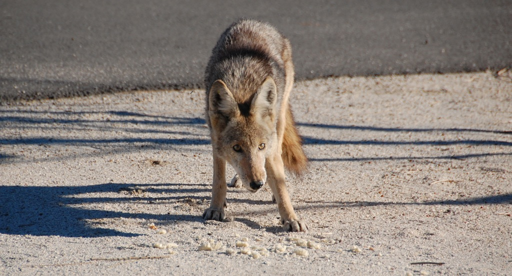 DSC_0038_2 Coyote eating crumbs