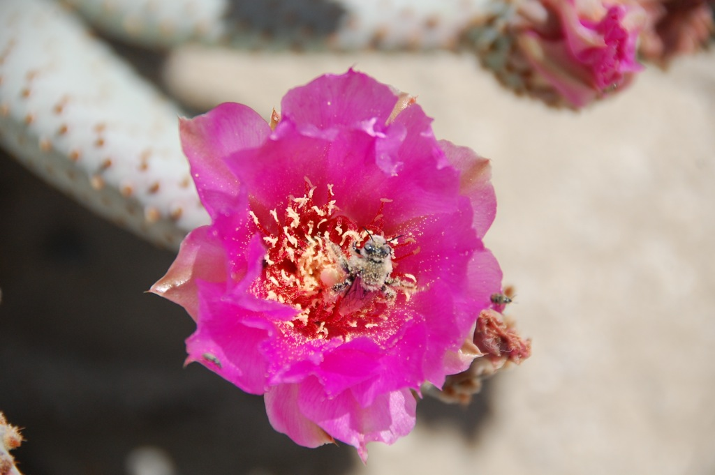 DSC_0140 Beavertail Cactus & bee