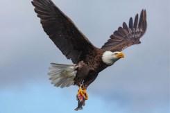 Rogue River Bald Eagle