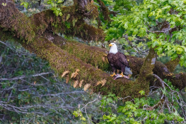 A Bold Eagle with a fresh catch