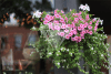 pretty-pink-petunias-stock-photos-horizontal-preview