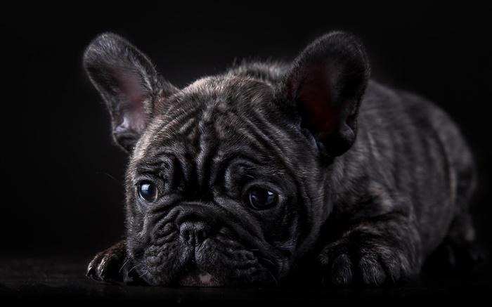 Wallpaper Perritos 3d 法國鬥牛犬,黑色的小狗 高清桌布 動物 電腦桌布預覽 Hk Hdwall365 Com