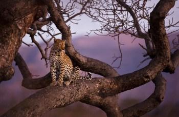 2011 08 03 Kruger National Park 3109 350x228 5. plads i Digital Fotos Nordisk Mesterskab fotokonkurrence