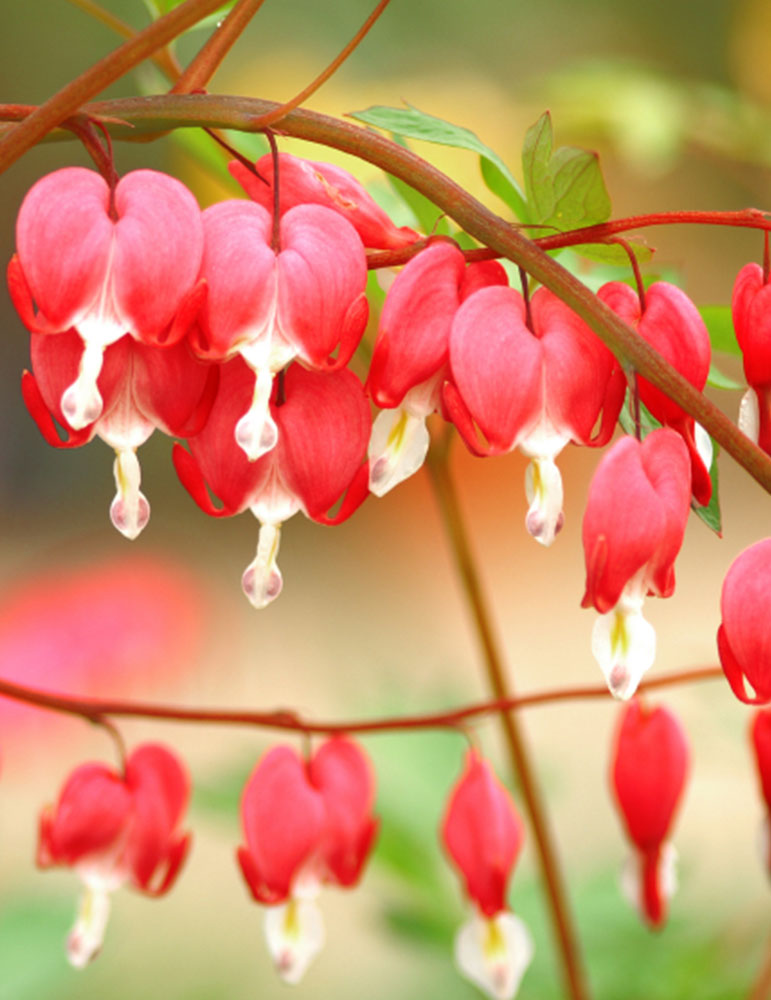 Bleeding Heart Flower Benefits Bleeding Hearts Collection | Holland Bulb Farms | 77458