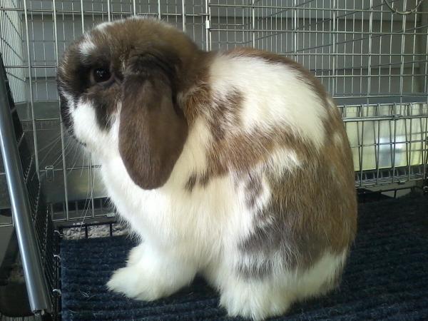 Breeding Holland Lops - Holly\u0027s Hollands Rabbitry