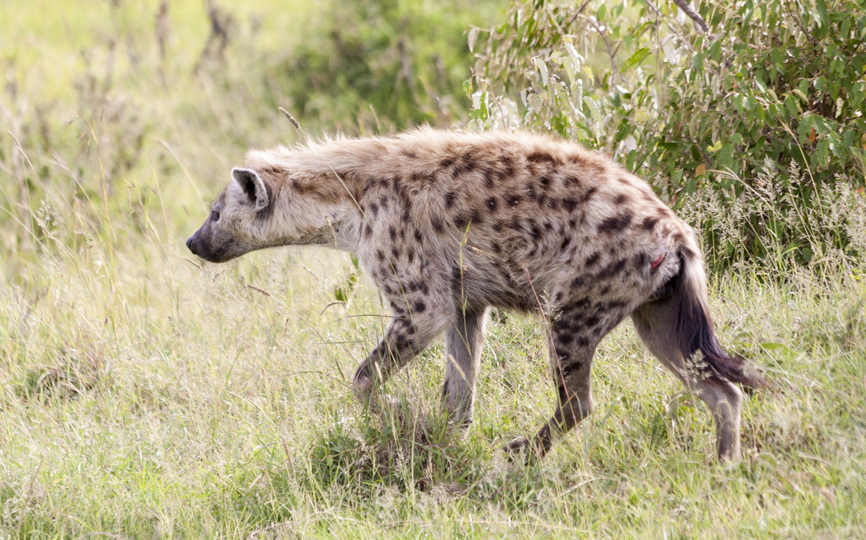 Hyena walk Q8