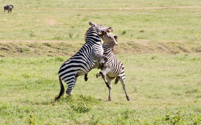 Hoofd-zebras