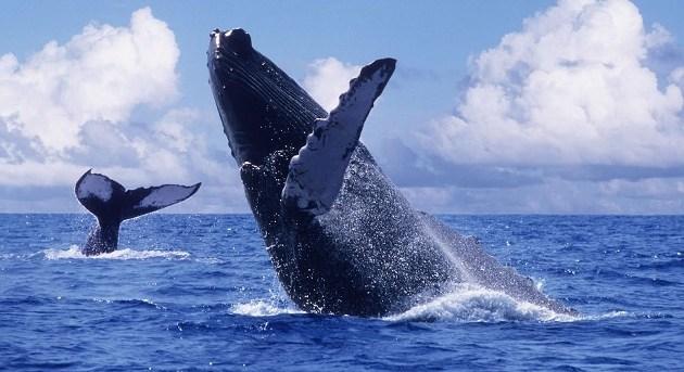 riviera nayarit whales1