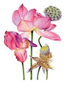 цветок лотоса картина
