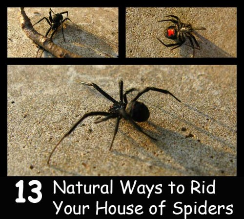 All natural ways to get rid of spiders home and garden for How to get rid of spiders in the house uk