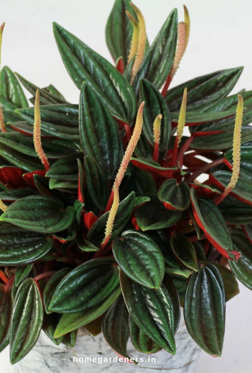 Peperomia Plant | 1 Quart Yellow Peperomia In Plastic Pot L4364hp At on golden gate fuchsia, golden gate orchids, golden gate marigold, golden gate ficus, golden gate rhododendron,