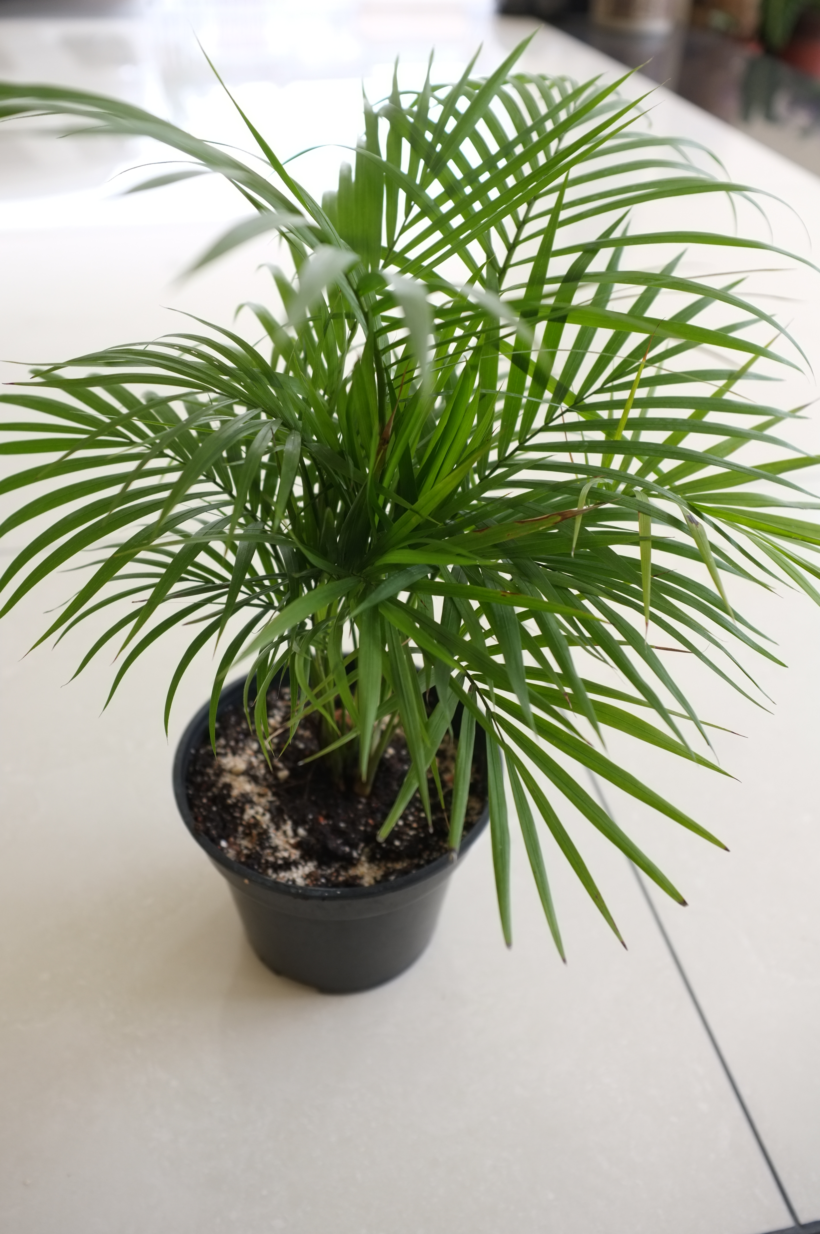Floor Plants Indoor Bamboo Palm Gardening Is Fun