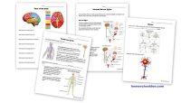 Science: Human Body Unit - Homeschool Den
