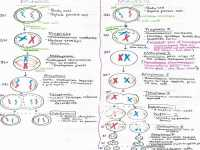 Mitosis Vs Meiosis Worksheet Answers | Homeschooldressage.com