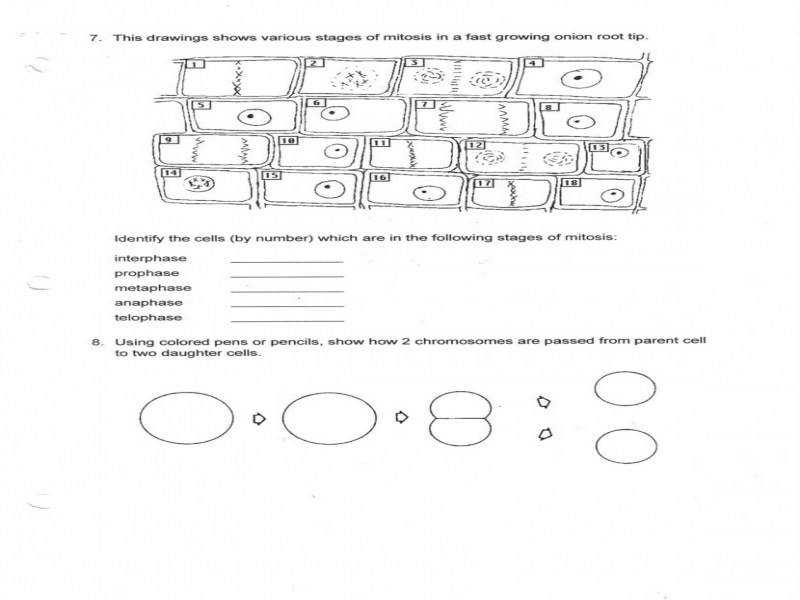 Beautiful Worksheets Mitosis And Meiosis Worksheet Answers