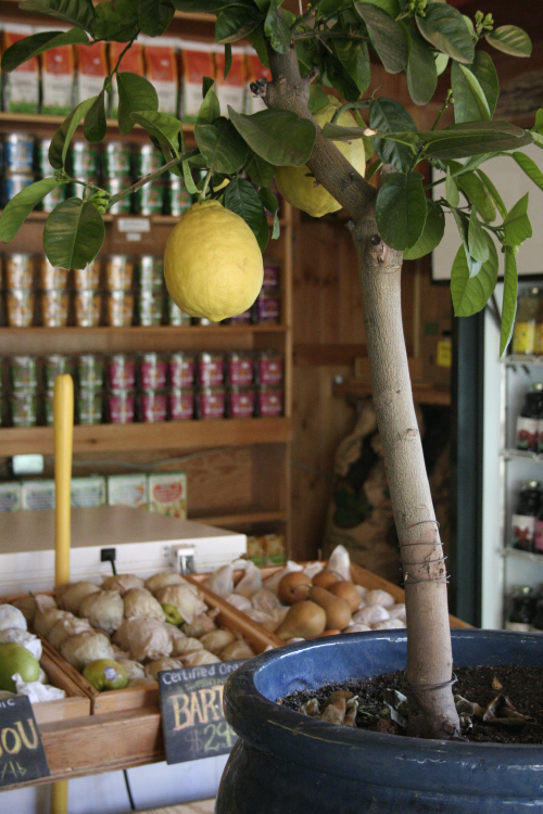 grow your own lemon tree out of store bought lemons in 11