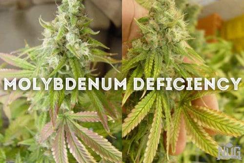 marijuana molybdenum deficiency