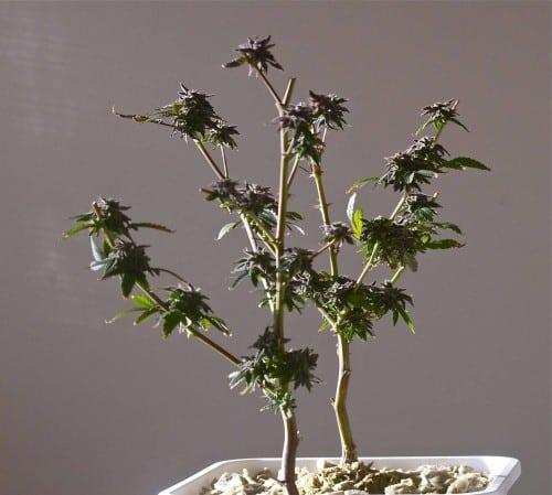 cannabis re-vegging