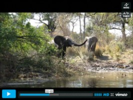Elephant encounter while fishing the river banks of the Zambezi River, Zambia