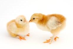 chick4732