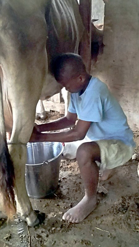 Pudens milking cow by hand barefoot