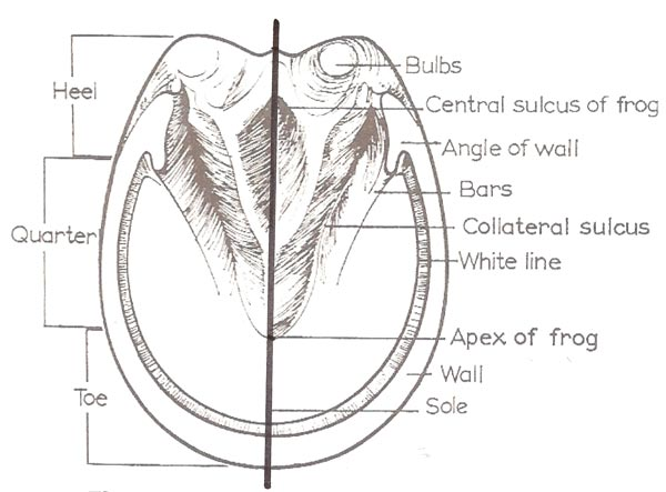 horse inside diagram