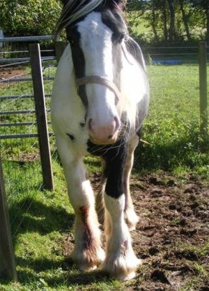 The pony with a leg injury has been successfully rehabilitated.