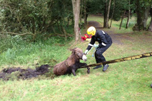A rescuer works to extract Chocolate from the muddy pit.