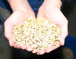 Crushed barley is a staple for many hard-fed horses.