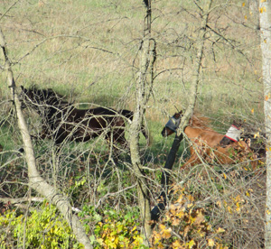 Shaun leads his pasture-mates on a gallop through their field.