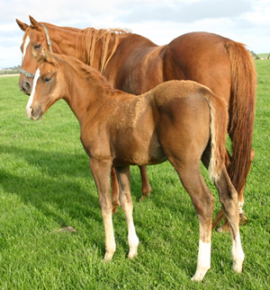 Having a familiar mare around eases the stress for foals at weaning time.