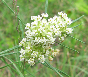 Asclepias verticillata - also knowns as whorled milkweed or horsetail milkweed. © Mason Brock