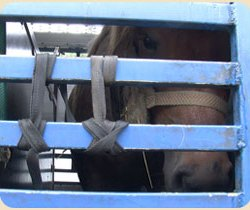 Riding horses, TBs targeted by abattoir buyers – study
