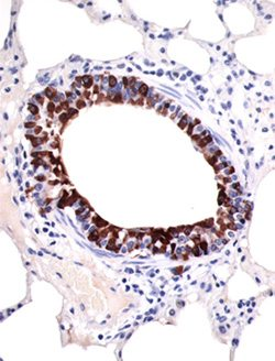 Microscopic image of a section of bronchiole and lung from a horse. The cells staining dark brown are the epithelial cells lining a bronchiole, and contain secretoglobin SCGB-1A1 as identified with an immunohistochemical stain. Cells surrounding the bronchiole are stained light blue, and do not contain SCGB-1A1.