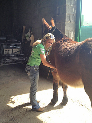 Dr Amy McLean examines a mule. Her pilot study on mules found some interesting cell count differences between mules and horses.
