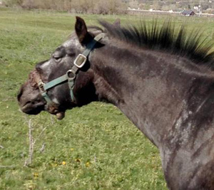 The case cannot be classified as a felony as horses are not considered companion animals under Utah's felony 'torture' statute.