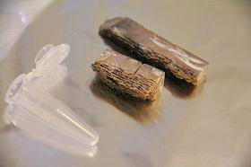 Fossil horse bones extracted for ancient DNA.