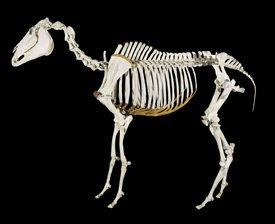 Phar Lap's skeleton at Te Papa before its re-articulation.