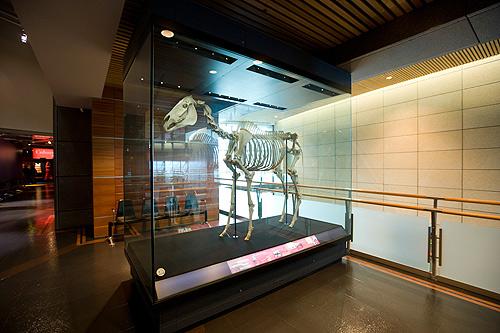 Phar Lap's skeleton in the Museum of New Zealand Te Papa Tongarewa.