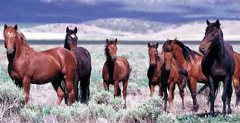 Free-ranging horses from the Onaqui Herd, near Dugway, Utah.