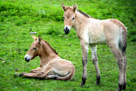 The two Przewalski's horse foals are less than three weeks old.