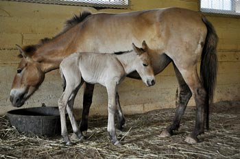 First-time mother Anne with her newborn filly. Scientists are celebrating the arrival of the first Przewalski's foal conceived through artificial insemination. Photo: Dolores Reed, Smithsonian Conservation Biology Institute