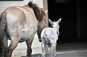 Anne with her newborn filly.  Photo credit: Dolores Reed, Smithsonian Conservation Biology Institute