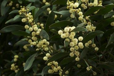 Acacia melanoxylon, commonly known as the Australian Blackwood. Photo: Wikipedia/Eric SF
