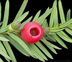 Taxus baccata (European yew) shoot with mature and immature cones.