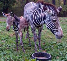 Samburu and her new foal.