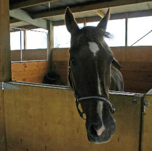 Horses can be affected by peer pressure, a study has found.