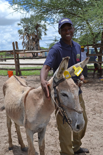 Lazarus Setlhare, MAWS animal health coordinator, with a newly tagged donkey.