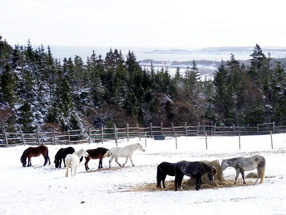 Newfoundland ponies in their natural environment. Photos: Newfoundland Pony Society