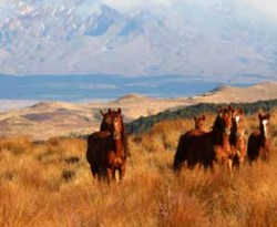 Group receives applications to rehome 141 Kaimanawa horses